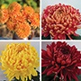 Chrysanthemum Christmas Bloom Collection