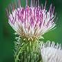 Cirsium Pink Blush Plants