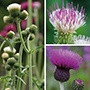 Cirsium Plant Collection