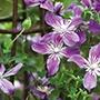 Clematis Arabella Plants