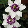 Clematis florida Sieboldii Plants