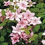 Clematis Pink Fantasy Plants