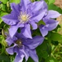 Clematis Boulevard Olympia Plants