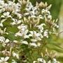 Cleome Senorita Blanca Flower Plants