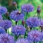 Centaurea Florence Blue Plants