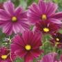 Cosmos Rubenza Plants