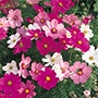 Cosmos Dwarf Sonata Mixed Plants