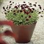 Cosmos Chocamocha Flower Plants