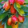 Crab Apple John Downie fruit tree