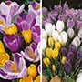 Crocus Bulb Collection