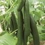 Cucumber Bella F1 (Grafted) Plants