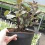 3 Litre Potted Plant
