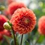 Dahlia (Ball) Zundert Mystery Fox Plants