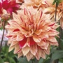 Dahlia (Decorative) Babylon Gevland