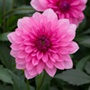 Dahlia Maxi Mendoza Flower Plants