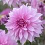 Dahlia Babylon Lilac Gevlan