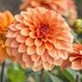 Dahlia (Decorative) Summer Flame