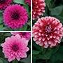 Dahlia Maxi Flower Plant Collection