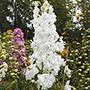 Delphinium Centurion White Plants
