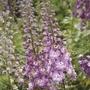 Delphinium Centurion Rose Plants