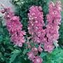 Delphinium Astolat Plants