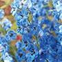 Delphinium Centurion Gentian Blue Plants