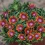 Delosperma Sundella Apricot Flower Plant