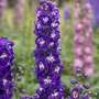 Delphinium Aurora F1 Deep Purple Flower