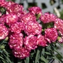 Dianthus Flow Glen Bay Flower Plants