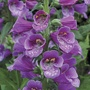 Digitalis Dalmatian Purple Plants