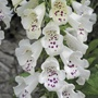 Digitalis Dalmatian White Plants