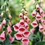 Digitalis Summer King Plants