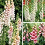 Digitalis Plant Collection
