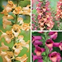 Digitalis Illumination Collection