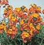 Erysimum Apricot Twist Plants