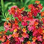 Erysimum Constant Cheer Plants