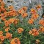 Erysimum Apricot Twist Flower Plants