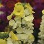 Erysimum Rysi Moon Flower Plants