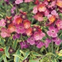 Erysimum Stars and Stripes plants