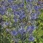 Eryngium Magical Blue Lagoon Plants