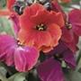 Erysimum Red Jep Plants