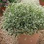 Euphorbia Silver Fog
