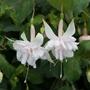Fuchsia (Giant Trailing) Pink Marshmallow Flower Plants
