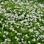 Galium odoratum Flower Plant