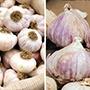 Heritage Garlic Collection