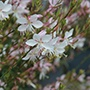 Gaura Flamingo White Plants