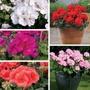 Geranium Designer Series Plant Collection