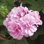Trailing Pelargonium Precision Series Bright Lilac Plants