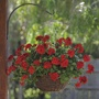 Trailing Pelargonium Precision Series Dark Red Plants