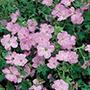 Geranium Mavis Simpson Plants